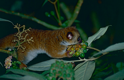 Greater Dwarf Lemur by Bernard Dupont