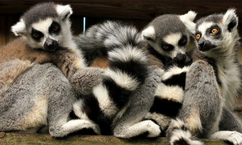 Ring-tailed lemurs by Mark Abel