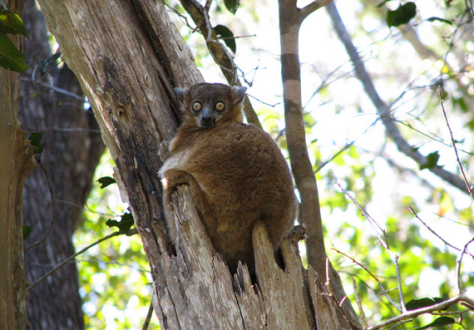 Sportive lemur by Flickr user NH53