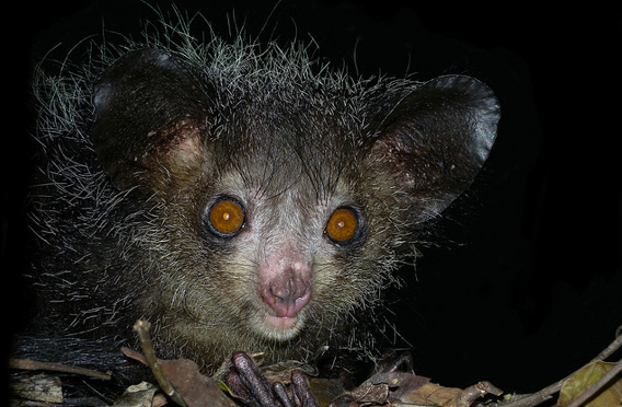 Daubentoniidae