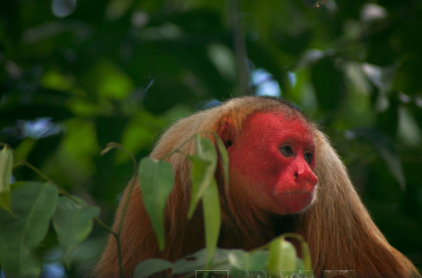 Red-headed Uakari by Aaron Martin