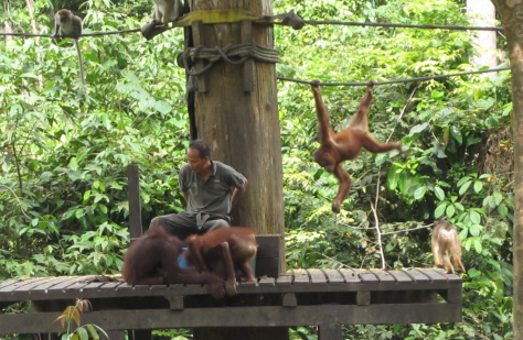 Semi-Orangutans on a feeding platform in Malaysia by Clarkece (Colleen) on Flickr