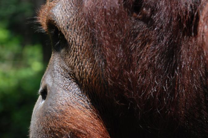 Volunteer Tourism and the Orangutan