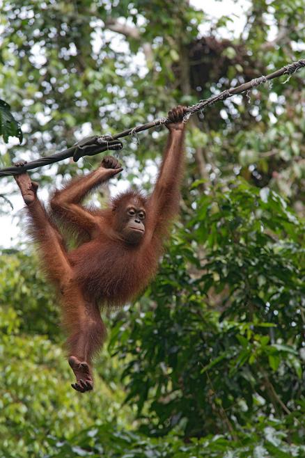 Juvenile orangutan near tourist center in Malaysia by Merlijn Hoek on Flickr
