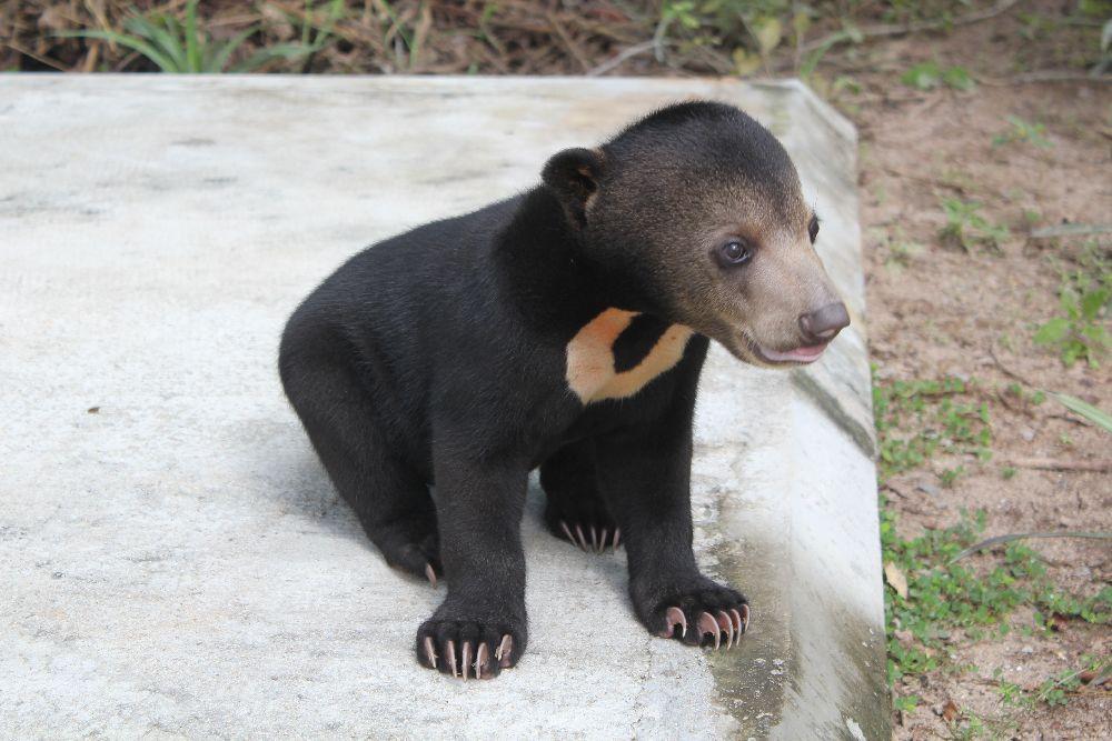 Baby Malayan Sun Bear - 191.6KB