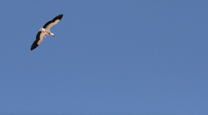 The European Stork: From Marrakech to Urban Legend