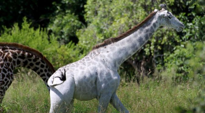 Omo the White Giraffe