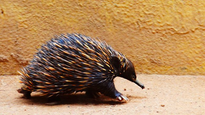 The Weird & Wild Echidna