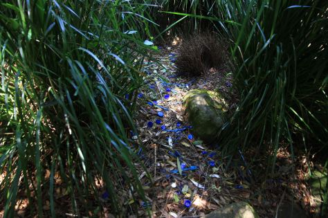Satin Bowerbird Bower by Flickr user 鵬智 賴