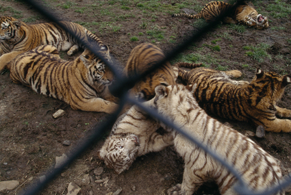 Backyard Tiger Breeding in the US-- There are currently more tigers as pets in Texas alone than there are left in the wild