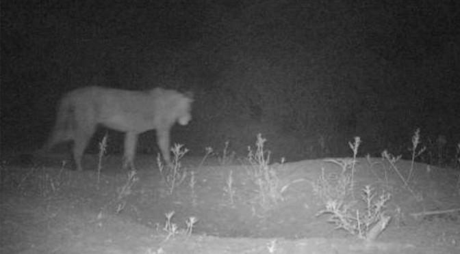 Hidden Lions Found in Ethiopia