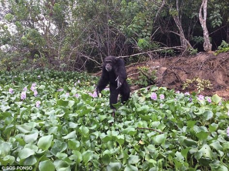 "Ponso, dubbed ""the loneliest chimpanzee in the world"""