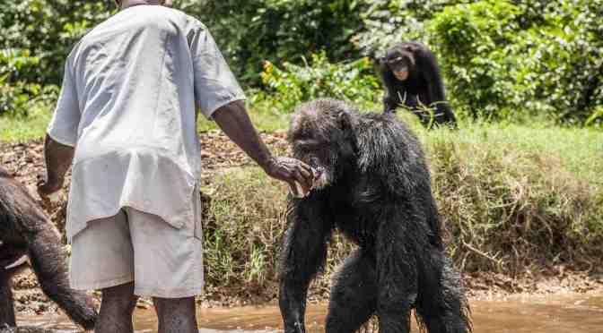 Chimpanzees and the New York Blood Center