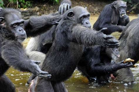 chimps-nybc