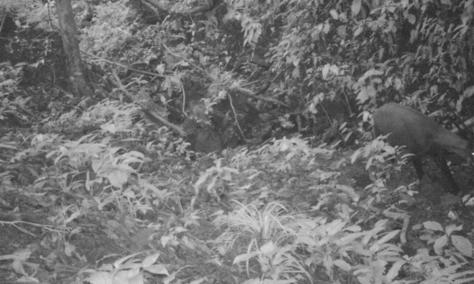 Camera Trap Photo of the Saola, identified by its iconic horns