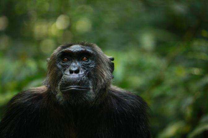 How wild chimpanzees can help negate climate change